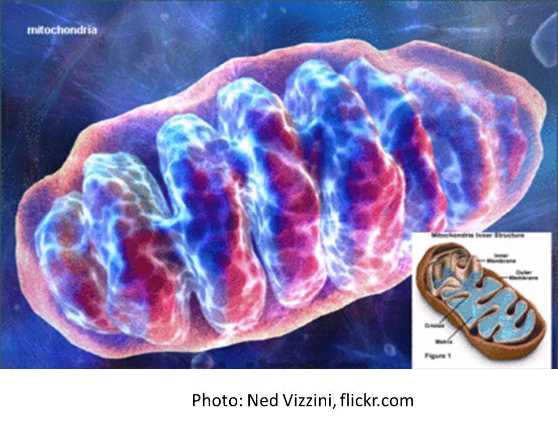 Mitochondria; Mitochondrial Contraction