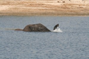 Elephant snorkeling 300x200 The elephant: the largest living land animal