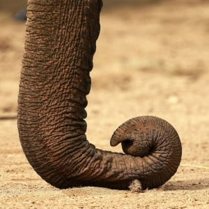 Elephant trunk 1 300x300 The elephant: the largest living land animal