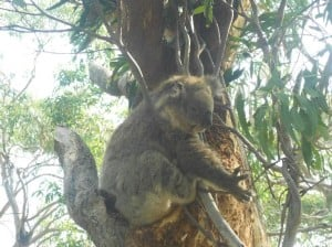 koala 300x224 The evolutionary quirks of Australian animals